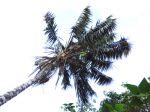 Kentia (Howea forsteriana) cultivé en extérieur sous le climat des îles Canaries