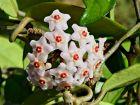 Fleur de cire, Fleur de porcelaine, Hoya carnosa