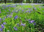 Jacinthe des bois, Hyacinthoides non-scripta