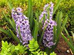 Jacinthe, Hyacinthus