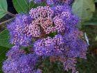Hydrangea velu, hydrangea rugueux, Hortensia rugueux, Hydrangea aspera