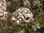 La taille des fleurs d'hortensia