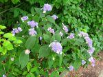 Hortensia nain, Hydrangea involucrata