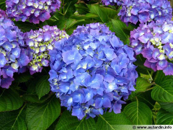 hortensia grandes feuilles hydrangea macrophylla. Black Bedroom Furniture Sets. Home Design Ideas