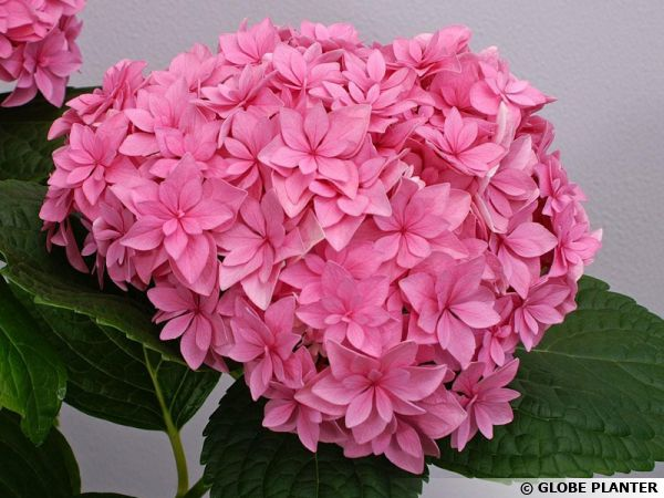 Hortensia YOU and ME 'Perfection', Hydrangea macrophylla YOU and ME 'Perfection'