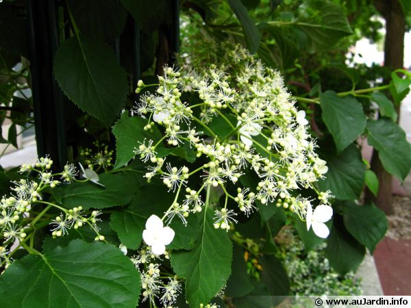 hortensia grimpant hydrangea petiolaris planter cultiver. Black Bedroom Furniture Sets. Home Design Ideas