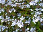 Hydrangea Japonais, Hydrangea serrata 'Blue Deckle'