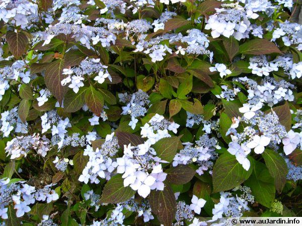 hortensia japonais  hortensia  u00e0 bonnets de dentelle