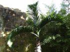 Palmier bonbonne, Hyophorbe lagenicaulis