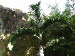 Palmier bonbonne, Hyophorbe lagenicaulis sur l'île de Ténérife aux Canaries