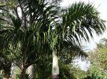 Palmiste marron, Palmier bouteille, Hyophorbe verschaffeltii