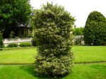 Houx commun, Ilex aquifolium