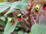 Balsamine de Parrot, Impatiens épiphyte, Impatiens parasitica