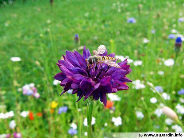 Un syrphe sur une fleur