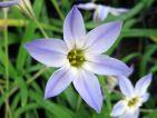Les iphéons forment de beaux tapis de fleurs blanches étoilées dans les pelouses