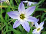 Iphéion uniflore, Ipheion uniflorum