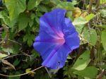 Fleur du Volubilis bleu, Ipomée bleu, Ipomoea indica