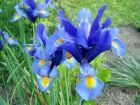 Iris bulbeux, Iris de Hollande