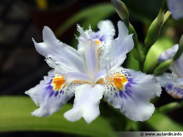iris du japon iris frang iris japonica conseils de culture. Black Bedroom Furniture Sets. Home Design Ideas