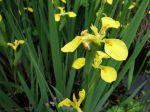 Les plantes des milieux humides