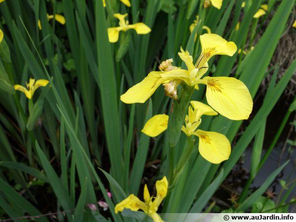 Iris des marais, Iris pseudacorus