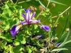 Iris versicolore, Iris versicolor