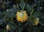 Isopogon à feuilles d'anémone, Plante à pilons, Isopogon anemonifolius