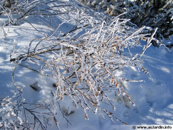 Un arbuste d'un jardin d'altitude sous la neige de février