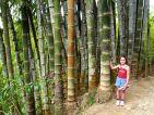 Bambous géants au jardin de Balata