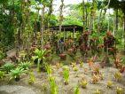 Bromeliacées au jardin de Balata