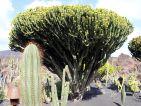 Le jardin de cactus de Lanzarote, euphorbe