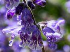 Le jardin du Lautaret - Salvia hians