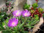 Jardin miniature, Delosperma et Sedum