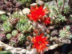 Jardin miniature, Jovibarba, Lobivia et Edum
