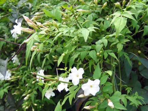 Jasmin blanc jasmin officinal jasminum officinalis cultiver - Jasmin blanc d hiver ...