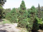 Genévrier de Chine, Juniperus chinensis
