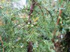 Genévrier commun, Genièvre, Juniperus communis