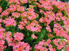 Kalanchoé de Blossfeld, Kalanchoe blossfeldiana