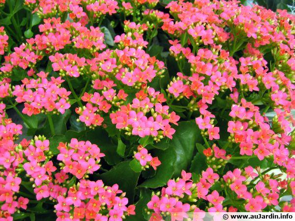 Kalanchoé de Blossfeld rose, Kalanchoe blossfeldiana