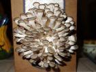 Les champignons après 6 jours