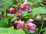 Ortie rouge, Lamier orvale, Lamium orvala