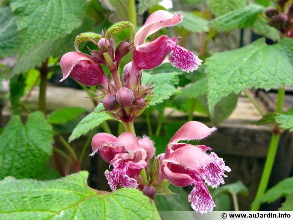 Ortie rouge lamier orvale lamium orvala conseils de for Plante urticante