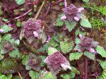 Lamier pourpre, Lamium purpureum
