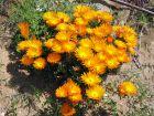 Ficoïde orange, Lampranthe orange, Lampranthus auriantacus