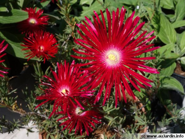 Ficoïde variable, Lampranthus variabilis