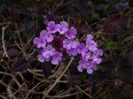 Lantanier rampant, Lantanier de Sellow, Lantana violet, Lantana montevidensis