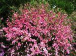 Arbre à thé, Myrte de Nouvelle-Zélande, Manuka, Leptospermum scoparium