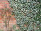 Réussir la plantation des plantes grimpantes
