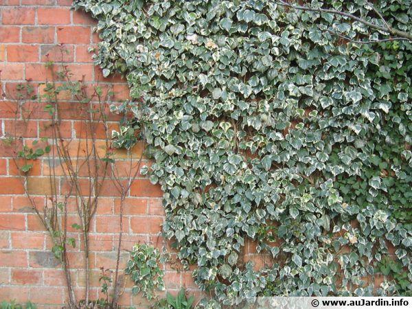 Lierre panaché se développant sur un mur peu esthétique...