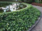 Le lierre, une plante bienfaitrice pour la biodiversité